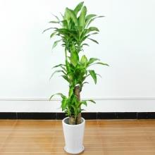 高约1.6m(含盆)巴西木盆栽