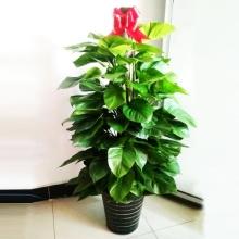 高约1.4m(含盆)大绿萝盆栽