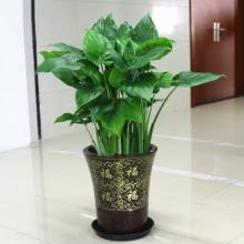 高约80cm(含盆)千手观音盆栽