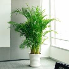 高约1.6m(含盆)散尾葵盆栽