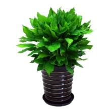 高约70cm(含盆)万年青盆栽