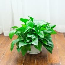 高约18cm(含盆)小绿萝盆栽