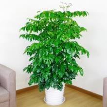 高约1.6m(含盆)多头幸福树盆栽