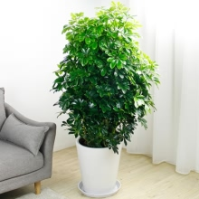 高约1.5m(含盆)鸭脚木盆栽
