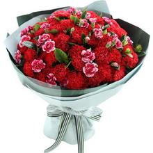 紅色康乃馨66枝,搭配白邊紫色多頭康乃馨15枝,梔子葉2扎