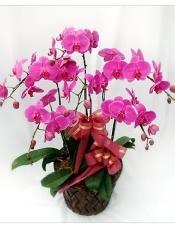 蝴蝶兰- 室内盆栽(7株桃红色一品蝴蝶兰)。