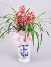 盆栽:大花惠兰(红色,4-5箭)