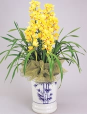 盆栽:大花惠兰(黄色,4-5箭)。