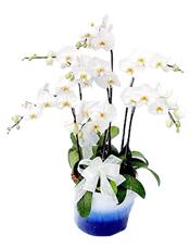 大朵蝴蝶兰五株(由于自然生长问题每株均有其自然特色,故本照片仅做参考)