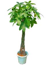 发财树,由于自然生长问题每株均有其自然特色,以配送实物为准。