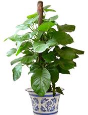 绿萝高1.5米,由于自然生长问题每株均有其自然特色,故本照片仅做参考