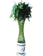 富贵竹笼,由于自然生长问题每株均有其自然特色,故本照片仅做参考。