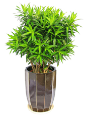 百合竹,由于自然生长问题每株均有其自然特色,故本照片仅做参考。