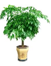 幸福树,由于自然生长问题每株均有其自然特色,以配送实物为准。