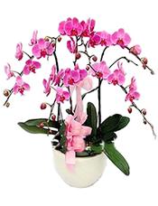 5株桃红色一品蝴蝶兰。(开花期3个月以上)