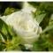 19枝白玫瑰