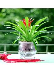 小红星绿植 送礼首选 室内花卉小盆栽 水培植物