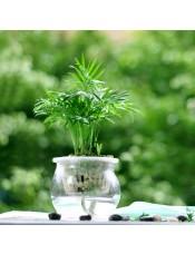 袖珍椰子 增加空气湿度 桌面水培迷你植物