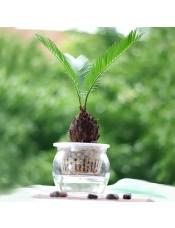 苏铁树球 桌面植物 寓意辟邪 镇宅必备 盆景树桩晶莹玻璃盆