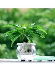 孔雀竹芋 如孔雀开屏 办公桌盆景 观叶植物孔雀竹芋-晶莹玻璃盆