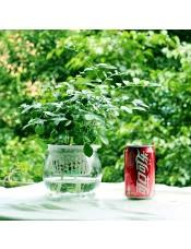 九里香 室内创意绿植 水培花卉盆景 放阳台可开花晶莹玻璃盆