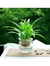 吊兰水培植物 新屋必备净化空气小盆栽 防电脑辐射 创意绿植盆景青叶吊兰-晶莹玻璃盆