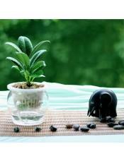 黑金刚盆栽 橡皮树 叶色黑绿 独具个性 推荐独特的你 水培整套