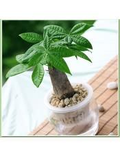 小发财树 水养桌面迷你盆栽 整套 发财兴旺植物 盆景树桩