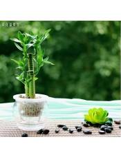 富贵竹 荷花富贵竹 水养办公室植物 室内水培绿植创意 盆栽花卉