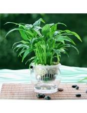 迷你白掌绿植 可开花花卉 净化空气盆栽 绿色水培植物
