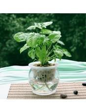 蓝精灵盆栽 迷你水培盆景创意植物 叶色丰富 点缀空间不单调