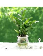 金钱树小盆栽 办公室室内盆景创意绿植 室内水培植物整套花卉