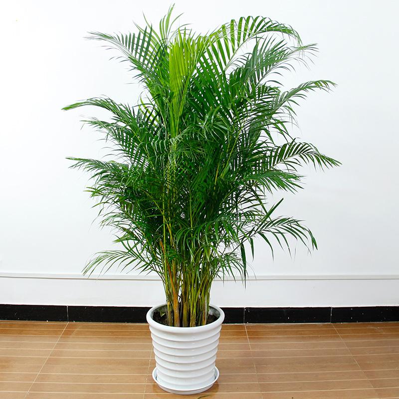 高约1.6m散尾葵图片