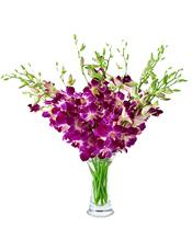 精美泰国紫色洋兰10支