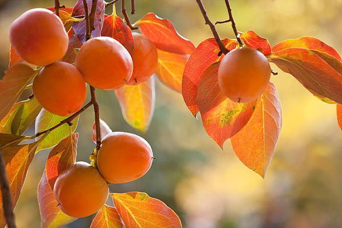 空腹吃柿子会得胆结石吗 结石为什么不能吃柿子