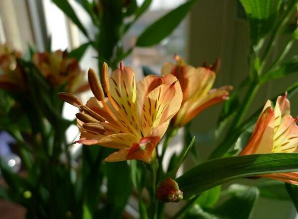 水仙百合的花语是什么 期待喜悦的相逢
